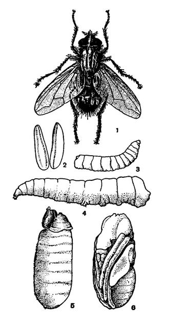 На изображении: Комнатная муха и ее превращение. 1 - общий вид насекомого; 2 - яйца; 3 - личинка первого роста; 4 - взрослая личинка; 5 - пупарий; 6 - куколка, вынутая из пупария