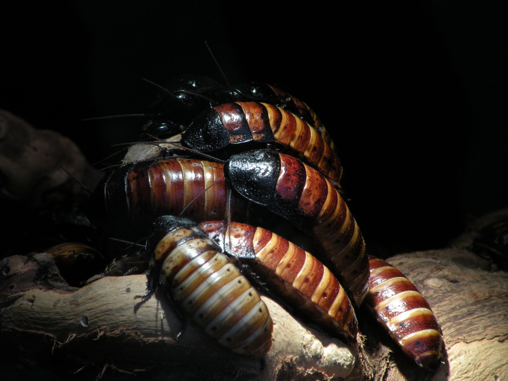 На фото - крупнейший из всех насекомых данного вида - Мадагаскарский таракан
