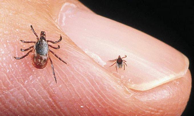 На фото: клещи, маленькие но очень опасные насекомые