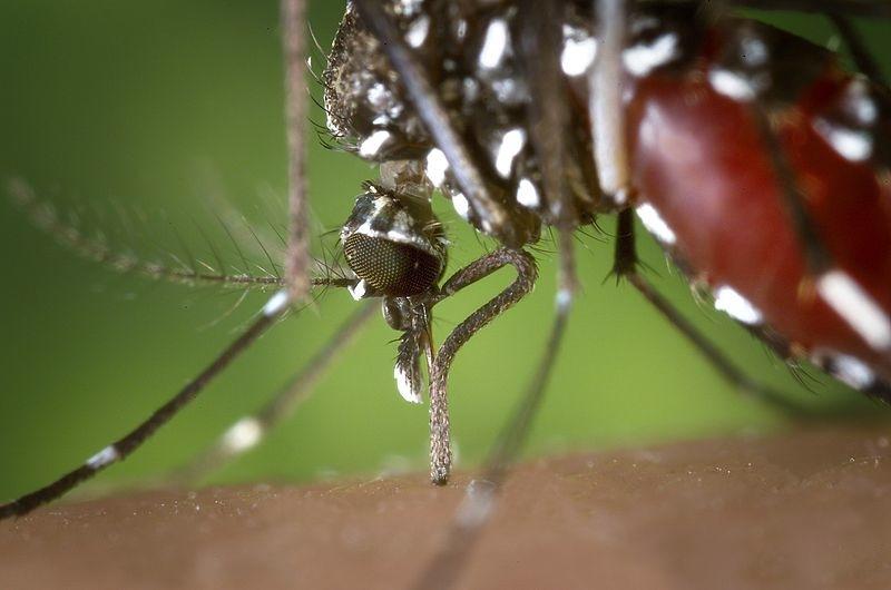 """На фото: напившаяся крови самка комара """"Азиатски Тигр"""", крупный план, макросъемка"""