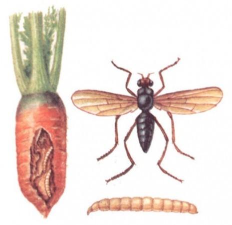 Фото иллюстрация: пораженная морковь, рисунок взрослой особи морковной мухи и личинка