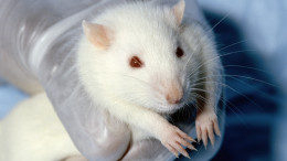 Лабораторные мыши и крысы