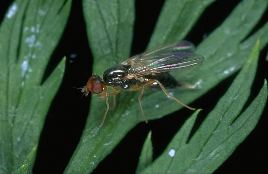 Фото морковной мухи, взрослая особь.