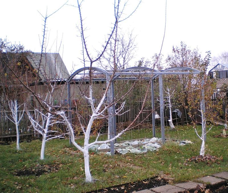 Побелка деревьев помогает защитить деревья от вредителей