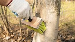 Побелка деревьев как профилактика борьбы с садовыми вредителями.