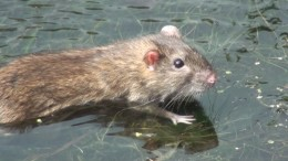 Умеют ли крысы плавать?