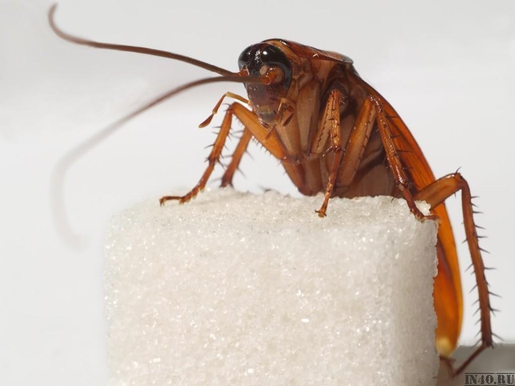 Одно из любимых лакомств тараканов - сахар или какая нибудь сладость